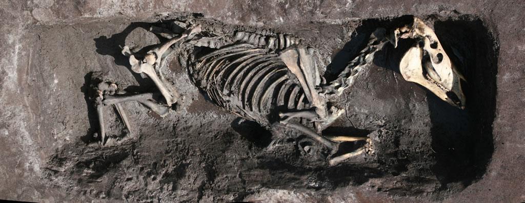 Pony skeleton in shallow grave